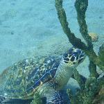 Dominica turtle