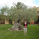 500 year old olive tree