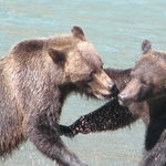 Grizzlys Play Fight