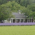 Lavanda Casa de Té floración Enero y Febrero