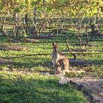 Wallabies enjoying the afternoon in the vineyard