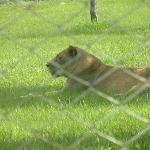 Caged lioness