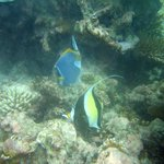 Pennant Coral Fish/Blue Surgeon Fish