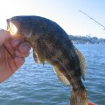 Spotted Bay Bass