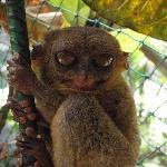tarsier 1
