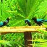 Yucatan Jays in Jungle Garden