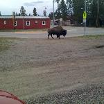 Bison photographed from front door