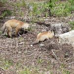 Red Fox & Kit, near Silver Gate, NE Entrance