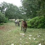 A wild mule and horses at the masseria