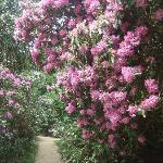 Hare Hill,Rhododendron plant.