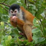 squirrel monkey eating fruit on the beach
