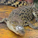 Baby Croc