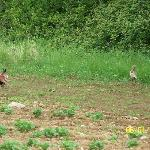 Pheasants on Bayly Farm