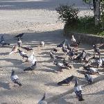 doves at Fort Pilar