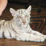 Un bébé tigre blanc