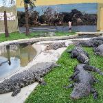 crocodiles and alligators (yes, they have them in together)