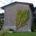 ivy covered wall in the courtyard