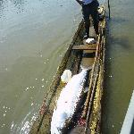 Tarpon caught by locals 120 pounds