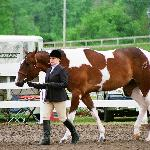 horse show pinto paint