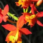 one of the many orchids on the property - Epidendrum radicaans
