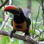 Fire Billed Aracari toucans nearby