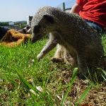Simples - The Baby Meerkat, hand-raised by the owners
