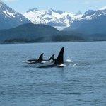 Gorgeous orcas