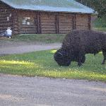 buffalo outside our cabin