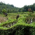 Rice fields below verandah
