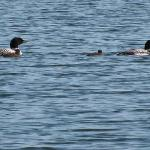 It was amazing to be able to see the baby loons so closely!