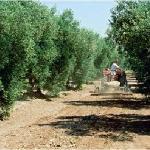 Castelas Olive trees