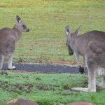 kangaroos early morning