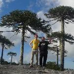Araukarien im Nationalpark Nahuelbuta