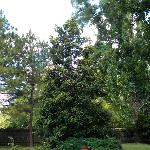 Beautiful Magnolias at the pool