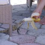 Iguana eating a banana