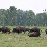 Bison Paddock Loop