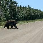 Black Bear Begegnung auf der Parkstraße