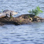 This is one of many gators we saw !!!  Awesome !!!