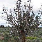 Shoe Tree - near Alfalfa,  loop route from Crooked River