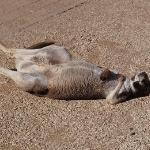 A sunbathing roo