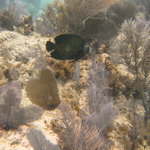 French Angel Fish at South Ledges