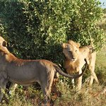 Lions 2 meters away from us in Tsavo East