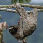 Three-toed Sloth at Canopy Tower