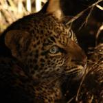 The baby leopard