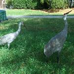 Sandhill Cranes at Cypress Cove
