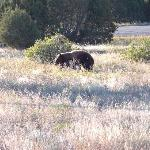 A bear, not a cow, close to JVR