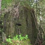 """Old """"springboard"""" stump, logged a century ago - Howland Hill Road"""