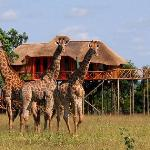 giraffes in front of Dream Treehouse