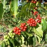 Kona coffee tree with ripe coffee