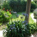Agapanthes du jardin